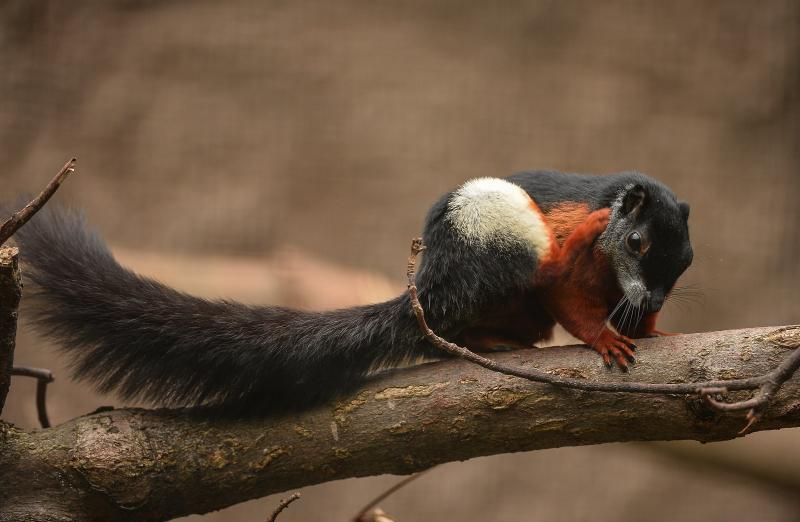 3_Prevost's squirrel triplets born in 'Chester Zoo first' (30)