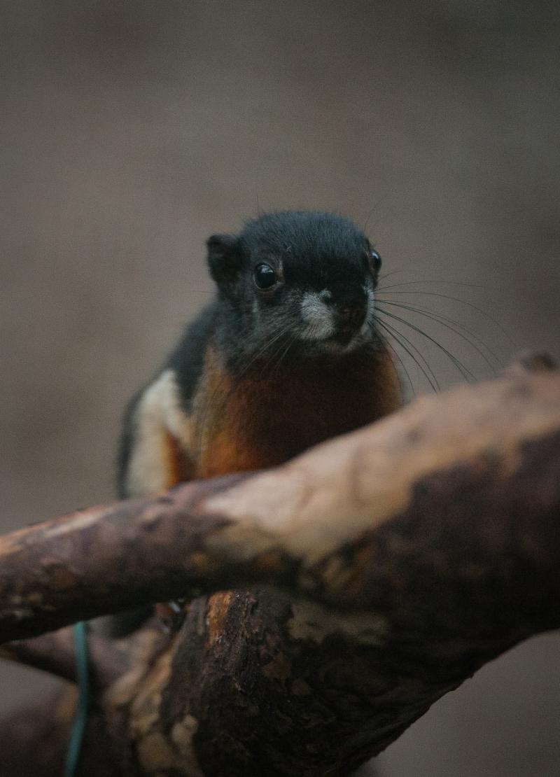 4_Prevost's squirrel triplets born in 'Chester Zoo first' (11)