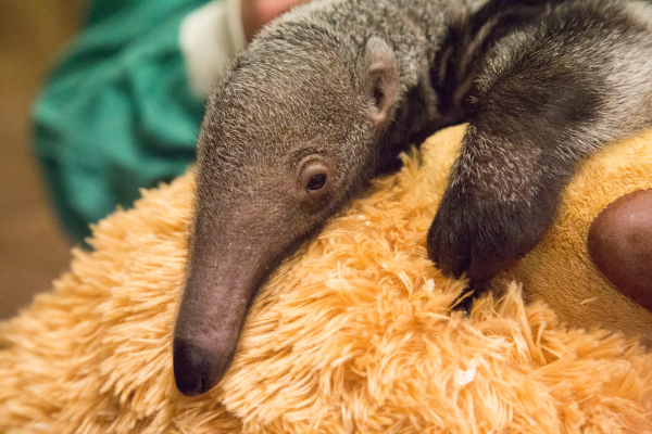 Giant Anteater Loves Cuddles With Her Teddy Bear