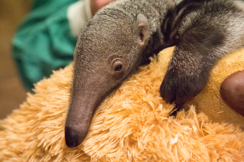 1_Beanie - baby giant anteater (c) ZSL London Zoo (4)