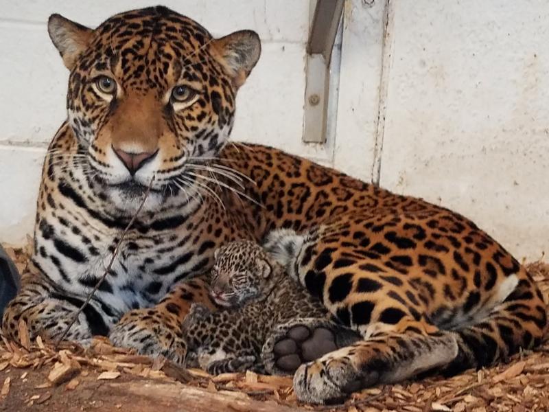2_Elmwood Park Zoo - Inka and cubs