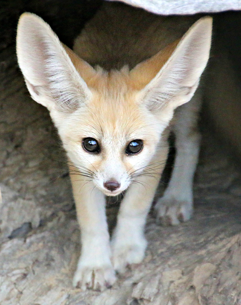 Fennec Fox Kit 4_Photo by Paul Fahy