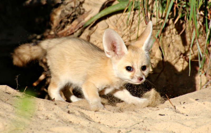 Fennec Fox Kit 2_Photo by Paul Fahy