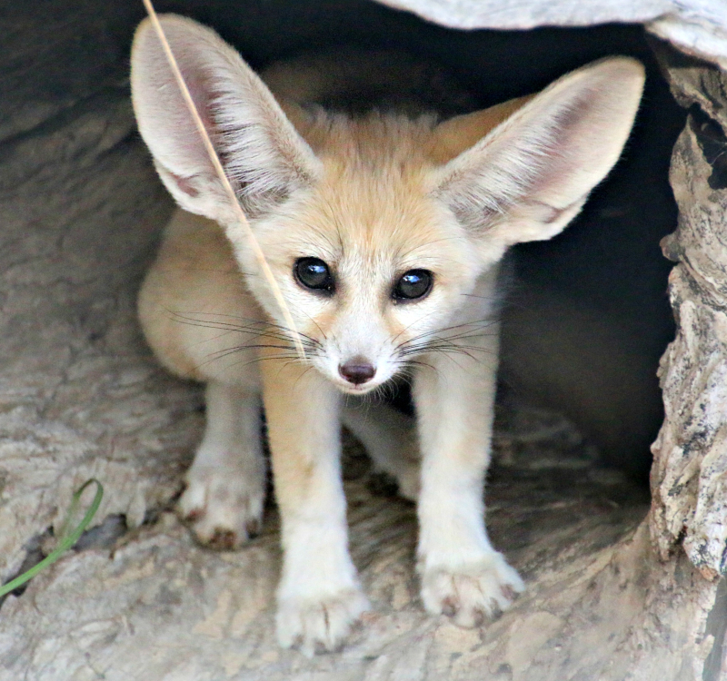 Fennec Fox Kit 8_Photo by Paul Fahy