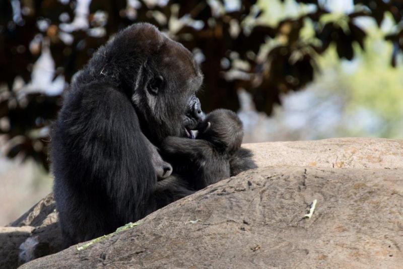 3_Western lowland gorilla Kudzoo with Mijadala_Zoo Atlanta