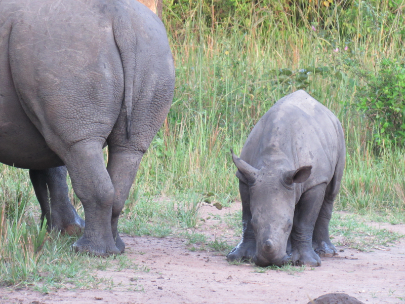 3_New Rhino Baby with Mother Ziwa