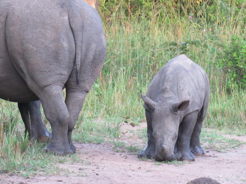 3_New Rhino Baby with Mother Ziwa