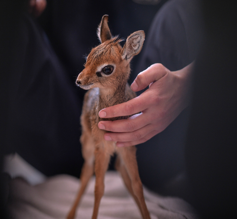 Keepers step in to hand-rear orphaned baby dik dik antelope at Chester Zoo (17)
