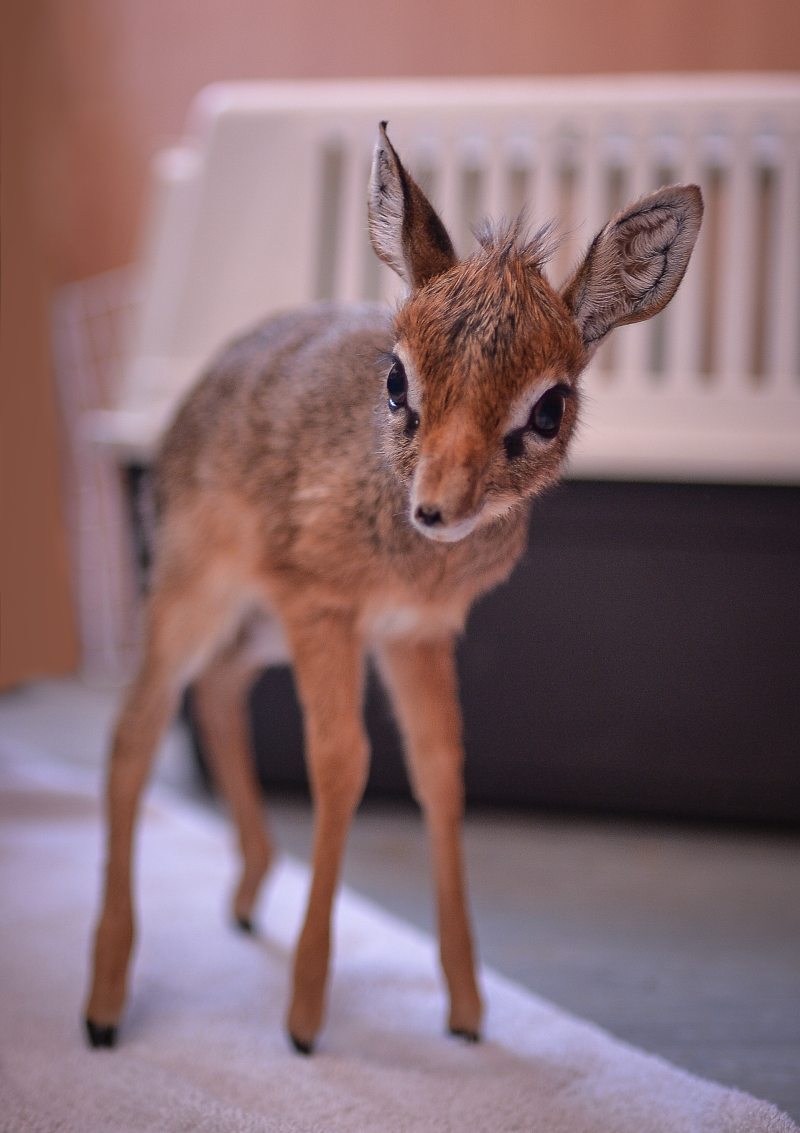 Keepers step in to hand-rear orphaned baby dik dik antelope at Chester Zoo (6)