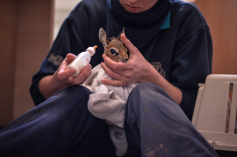 Keepers step in to hand-rear orphaned baby dik dik antelope at Chester Zoo (12)