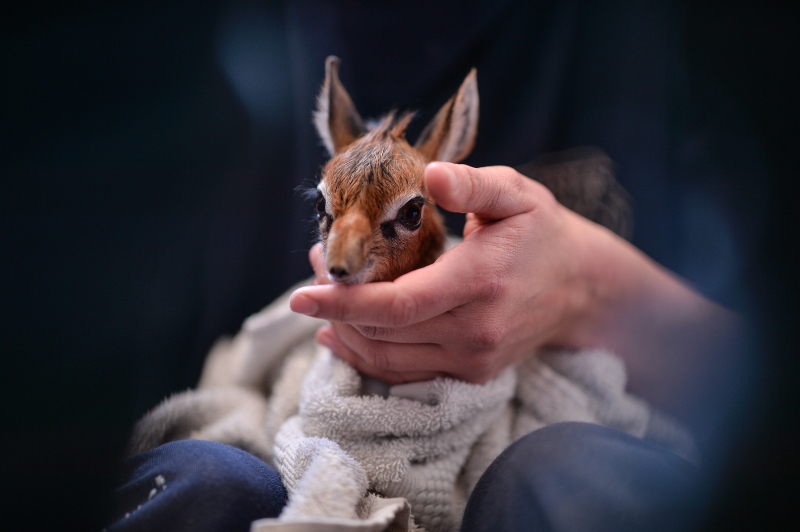 Keepers step in to hand-rear orphaned baby dik dik antelope at Chester Zoo (14)