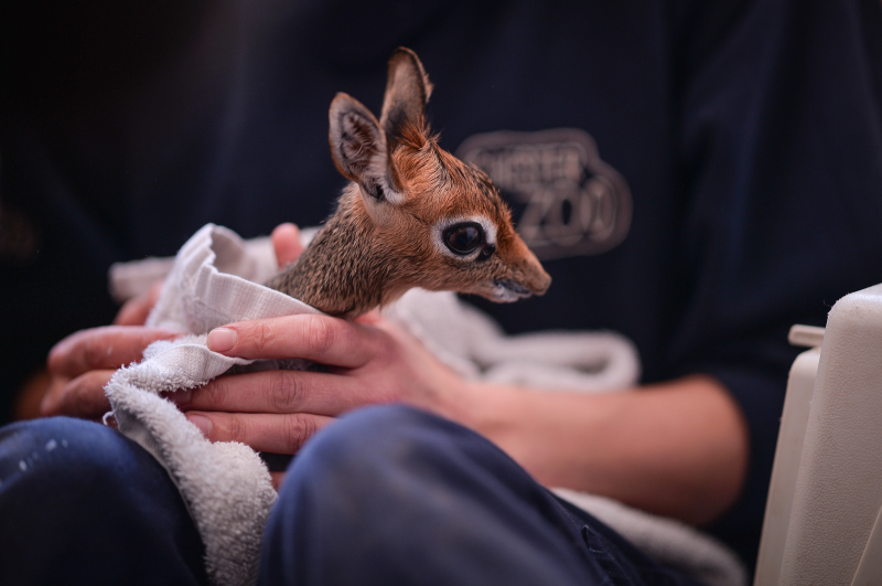 Keepers step in to hand-rear orphaned baby dik dik antelope at Chester Zoo (15)