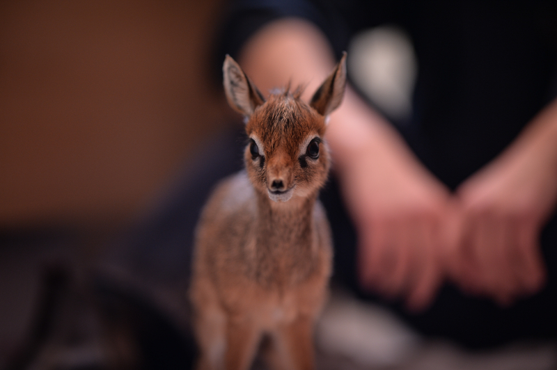 Keepers step in to hand-rear orphaned baby dik dik antelope at Chester Zoo (18)