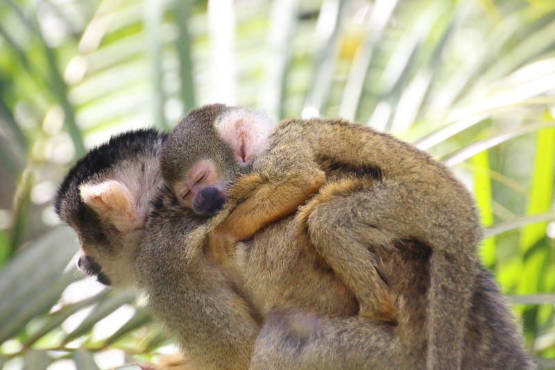 3_Squirrel Monkeys 11_Photo by Paul Fahy
