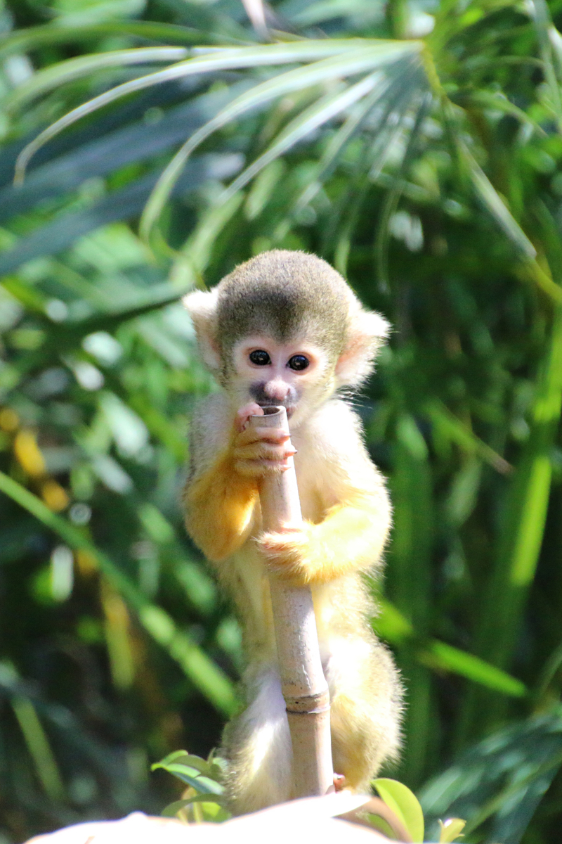 11_Squirrel Monkeys 3_Photo by Paul Fahy