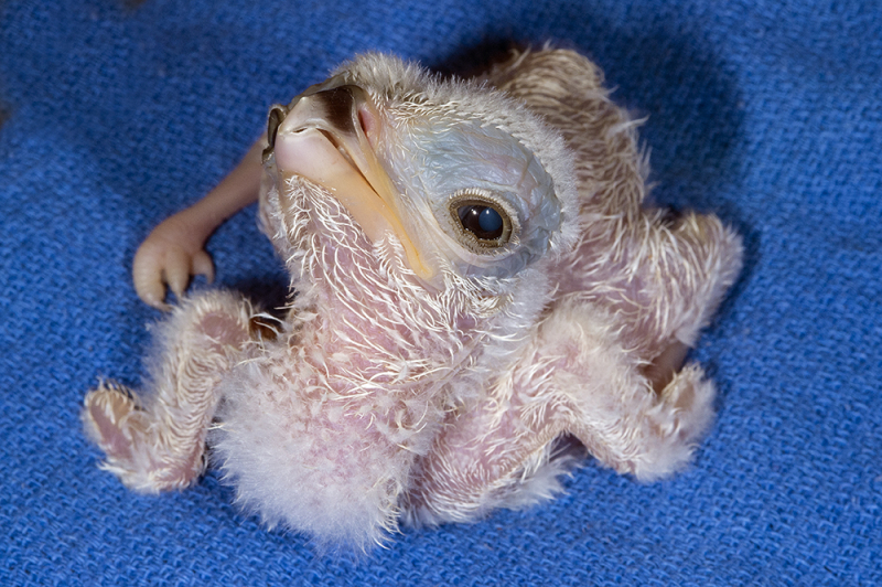 6_Secretary Bird Hatchling 2A