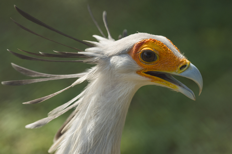 Secretary Bird Adult A