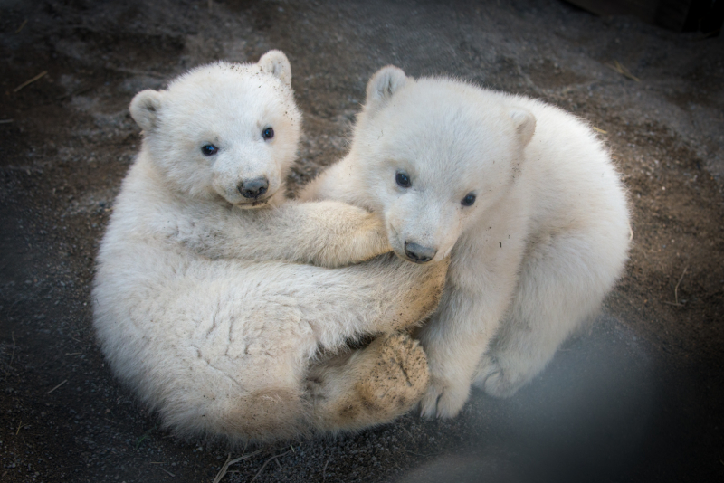 3_Aurora's Polar Bear Cubs 6233 - Grahm S. Jones, Columbus Zoo and Aquarium