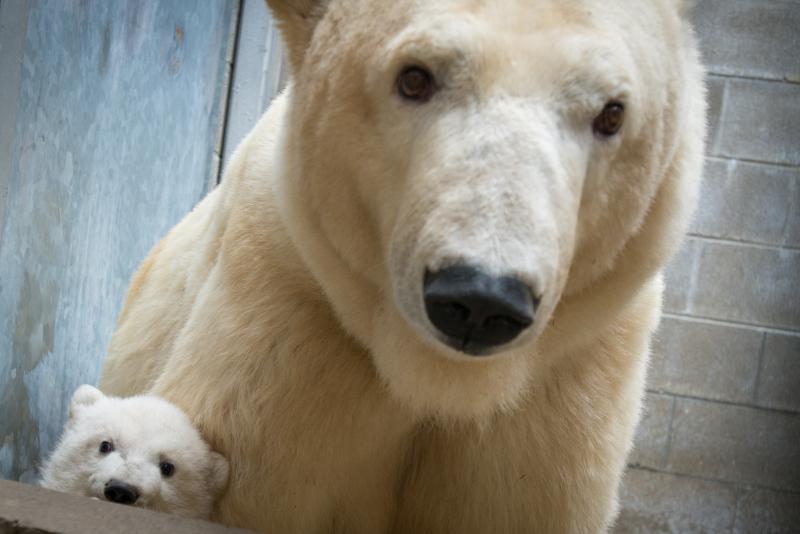5_Anana's_Polar Bear Cub 5578 - Grahm S. Jones, Columbus Zoo and Aquarium