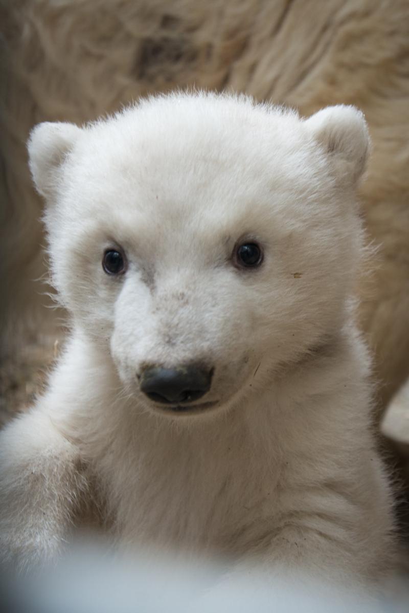 7_Anana's_Polar Bear Cub 5666 - Grahm S. Jones, Columbus Zoo and Aquarium