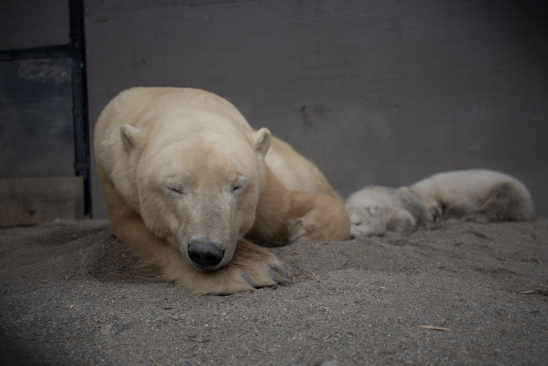 10_Aurora's_Polar Bear Cubs 0142 - Amanda Carberry, Columbus Zoo and Aquarium