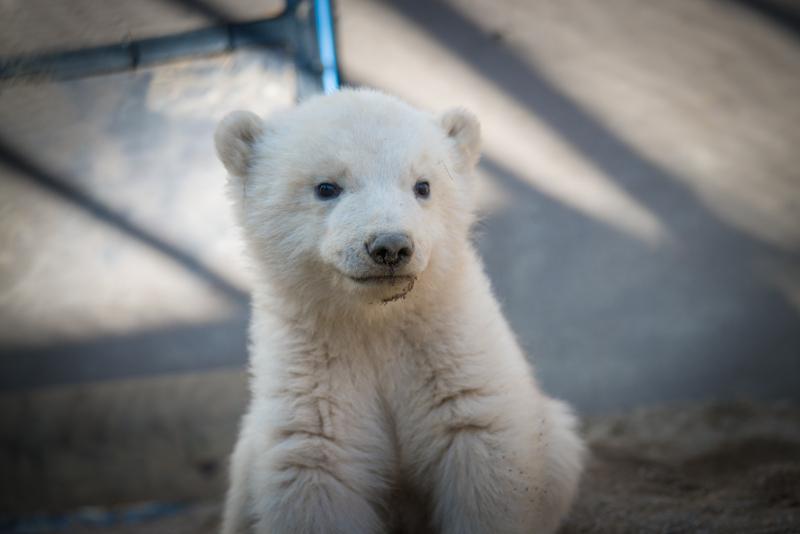 12_Aurora's Polar Bear Cubs 6264 - Grahm S. Jones, Columbus Zoo and Aquarium