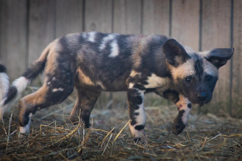 3_African Painted Dogs 7609 - Grahm S. Jones, Columbus Zoo and Aquarium
