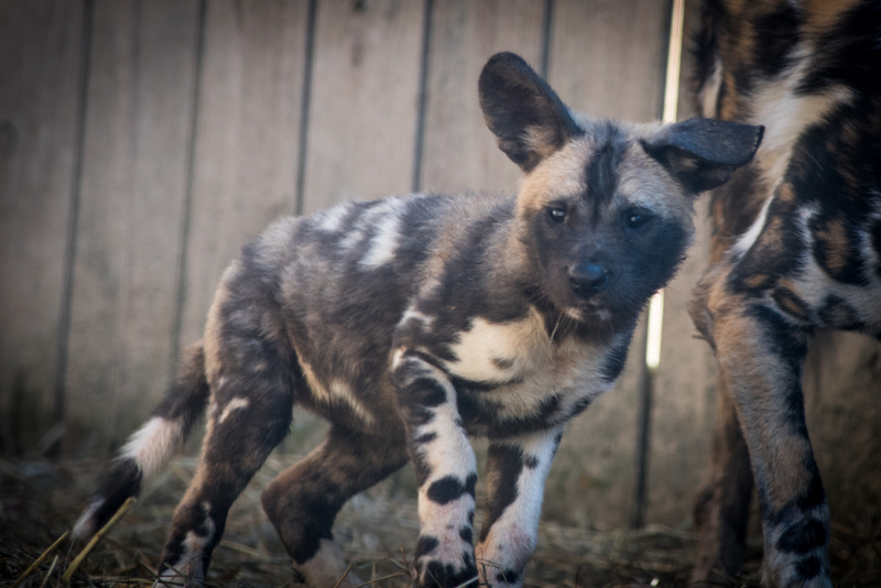 4_African Painted Dogs 7618 - Grahm S. Jones, Columbus Zoo and Aquarium