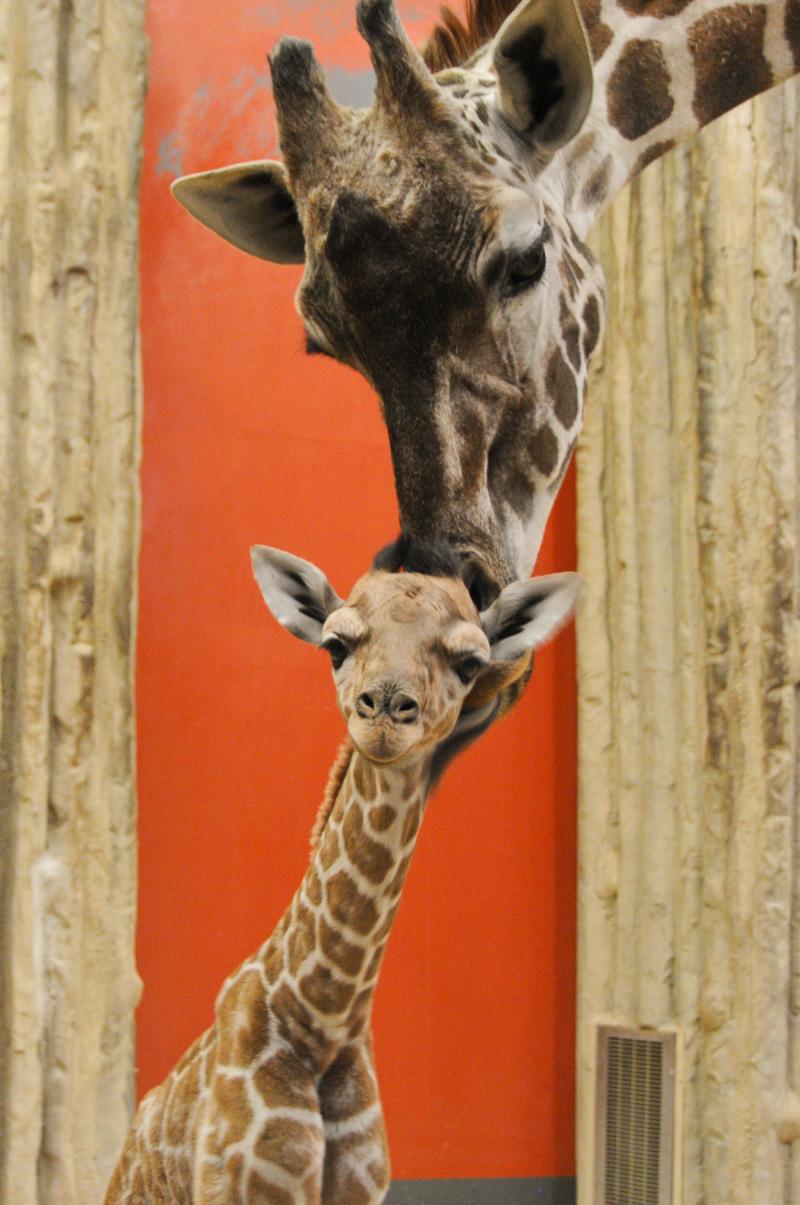 Baby_giraffe-Dobby_01