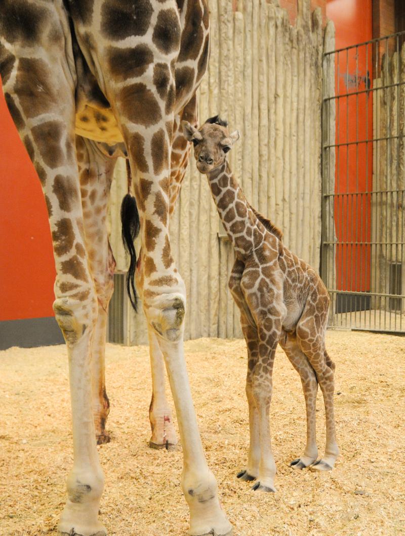 Baby_giraffe-Dobby_03