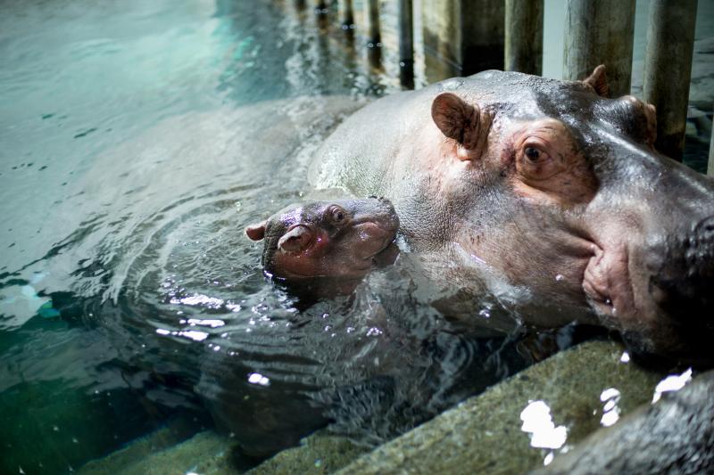 3_Hippo_naissance_4