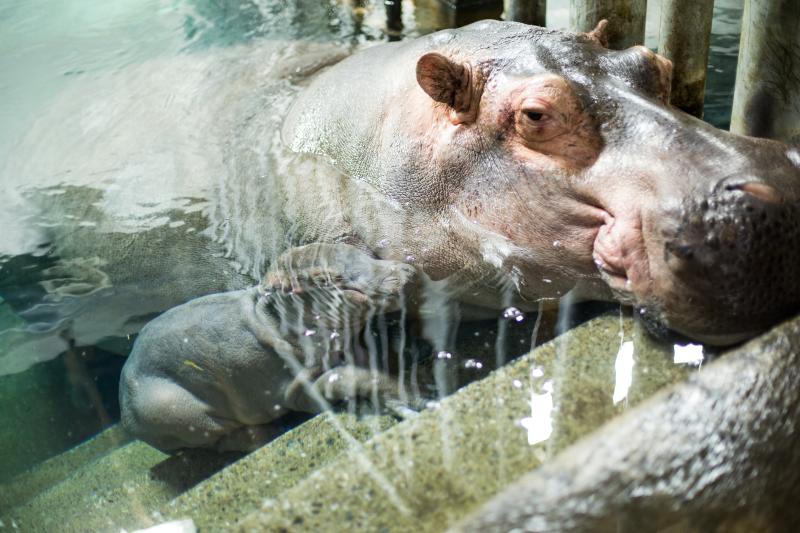 4_Hippo_naissance_5