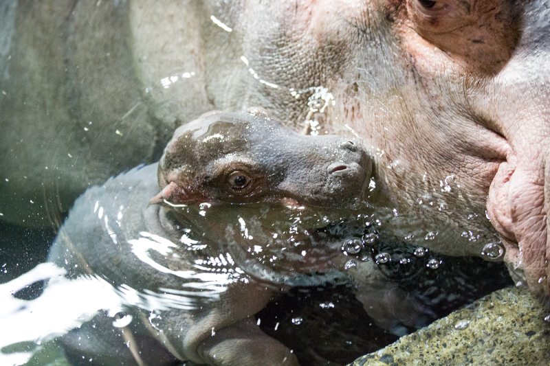 8_Hippo_naissance_12