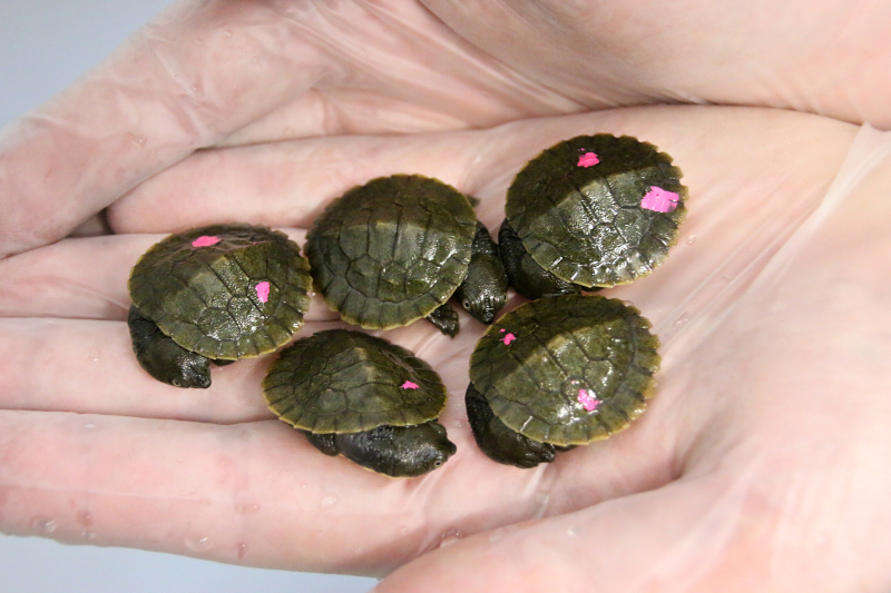 4_Hatchlings 7_Photo by Paul Fahy