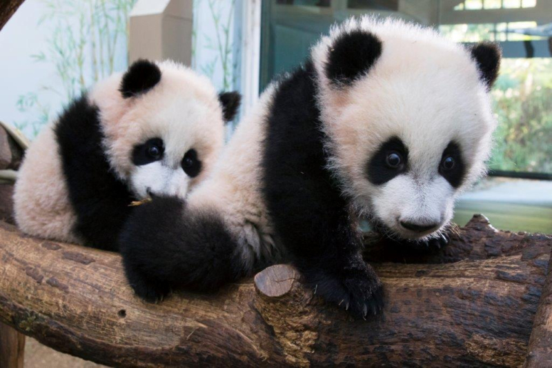 Ya Lun and Xi Lun_Zoo Atlanta 2