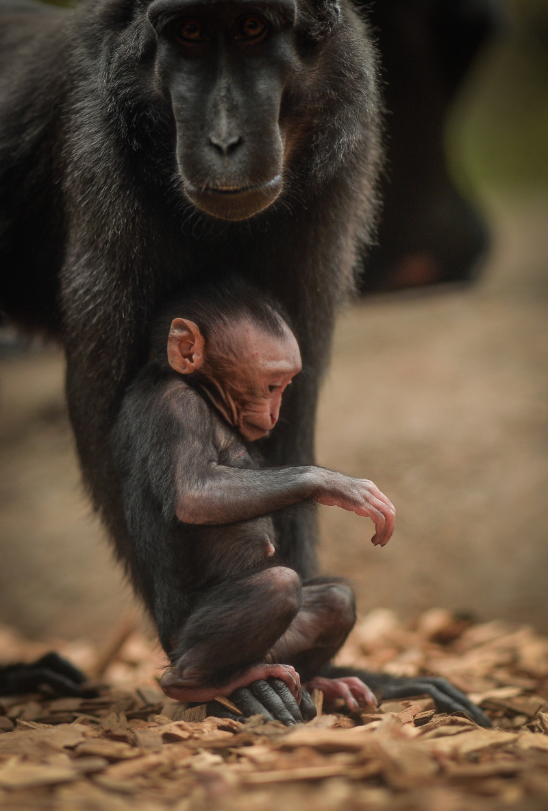 Baby Sulawesi macaque Amidala born to mum Lisa at Chester Zoo (13)