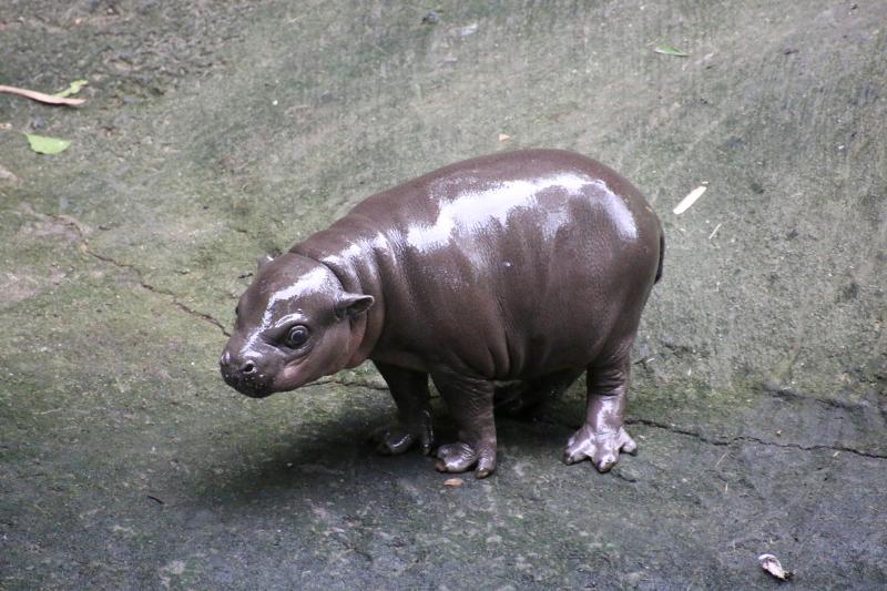7_Pygmy Hippo Calf 11_Photo by Paul Fahy
