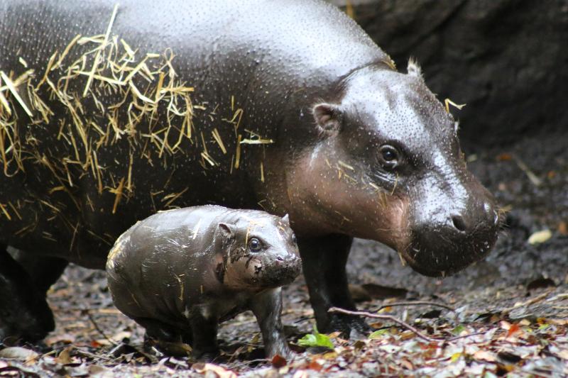 12_Pygmy Hippo Calf 20_Photo by Paul Fahy