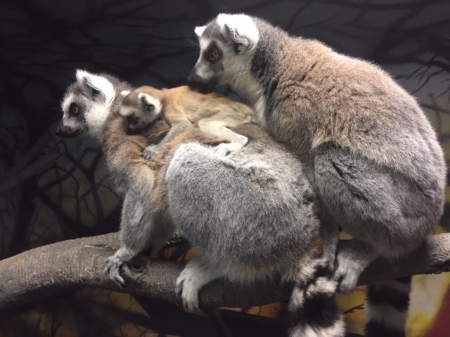 5_Lemur female Jyn and parents A