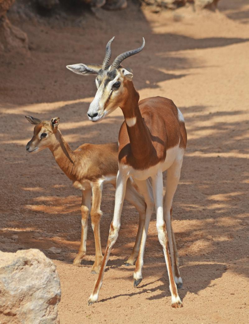 2_Crías de gacela Mhorr en la Sabana africana de BIOPARC Valencia - marzo 2017 (3)