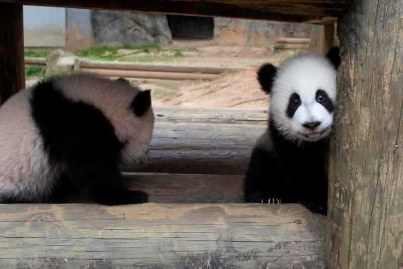 1_Ya Lun and Xi Lun_Zoo Atlanta