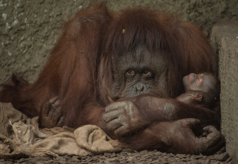 1_First Bornean orangutan born in almost a decade at Chester Zoo (9)