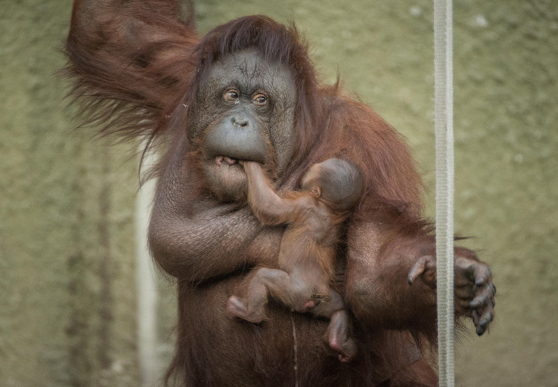 9_First Bornean orangutan born in almost a decade at Chester Zoo (3)