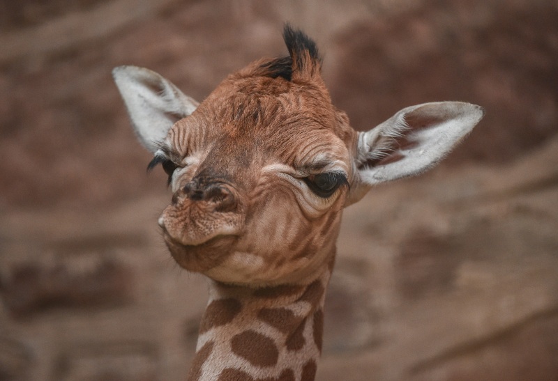 1_Giraffe calf born at Chester Zoo - first pictures (6)