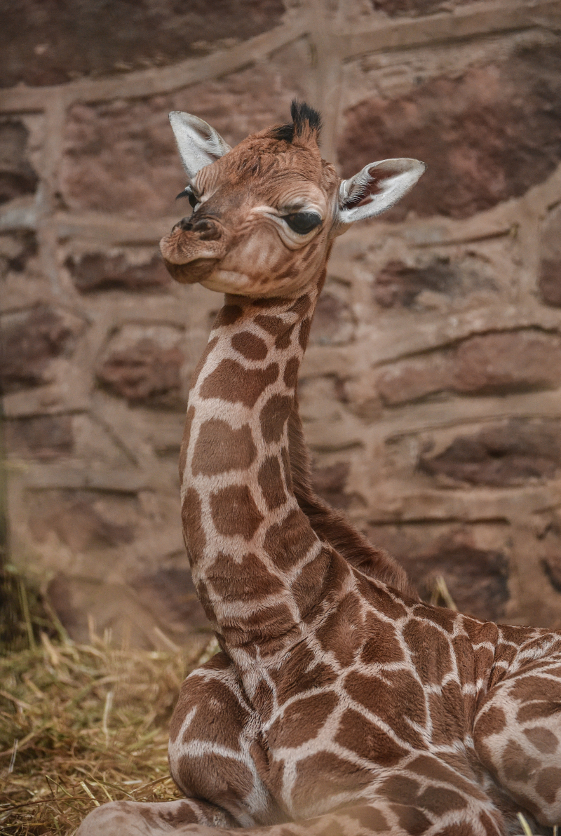 4_Giraffe calf born at Chester Zoo - first pictures (5)