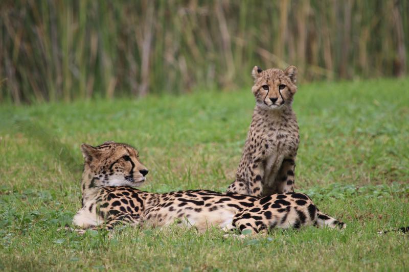 Cheetah cubs on exhibit April 2017 SM (32)