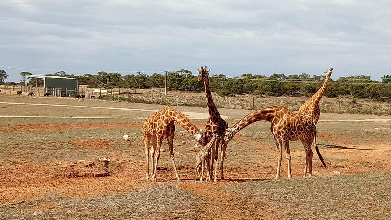 Giraffe calf and group. Photo credit Simon Dower  Zoos SA