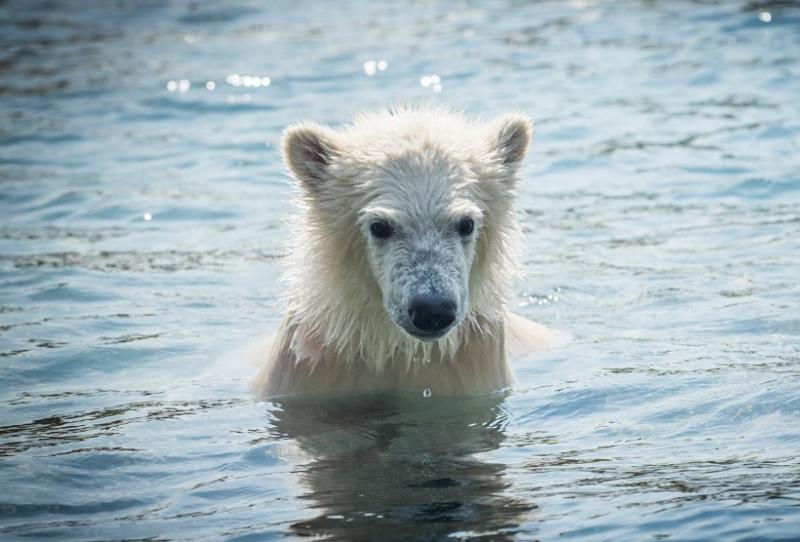 2_Anana's polar-bear-cub-slide-3ac21c932bd2f67d7bdc2ff0000bf4b43