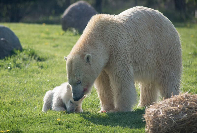 3_Anana's polar-bear-cub-slide-4c021c932bd2f67d7bdc2ff0000bf4b43