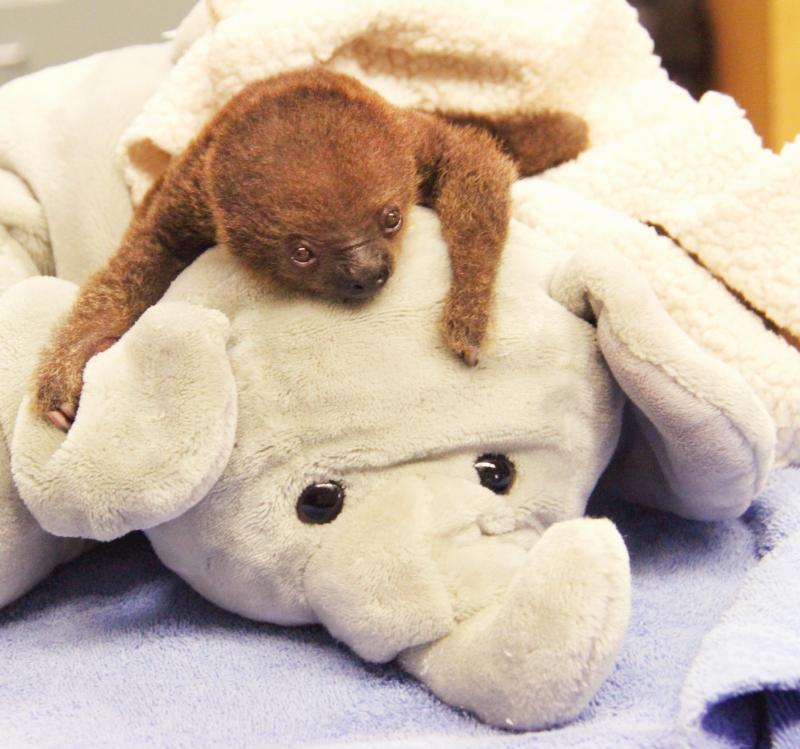 Baby-Sloth-1